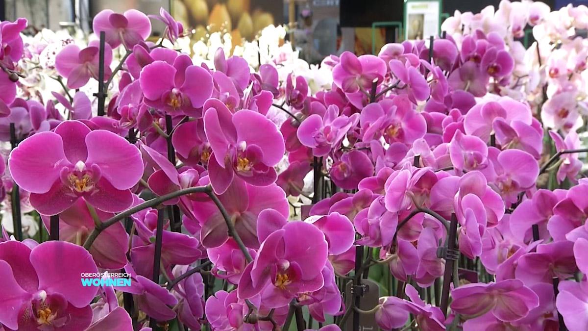 einmaleins der orchideen pflege lt 1 o gr ter. Black Bedroom Furniture Sets. Home Design Ideas