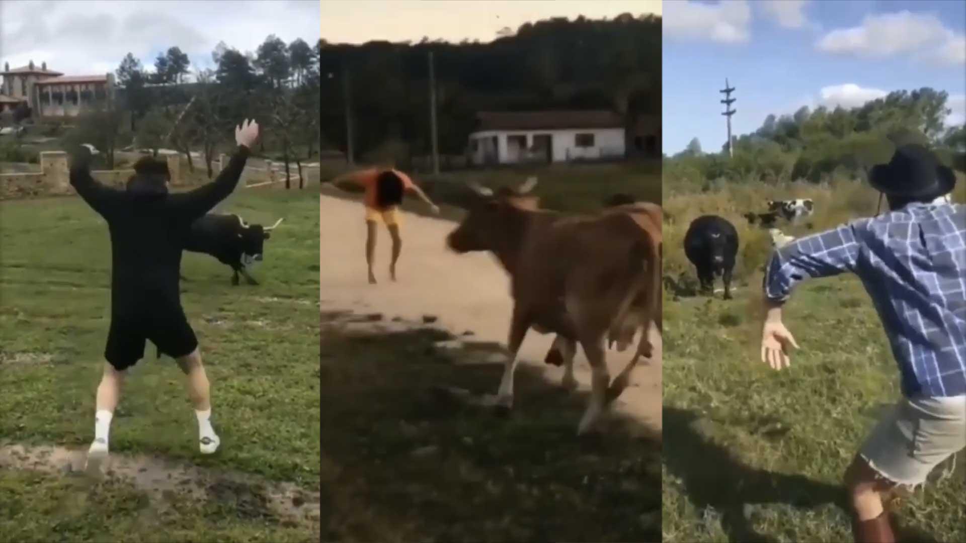 Tiktok Kühe Erschrecken
